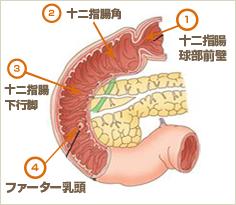 十二指腸の図